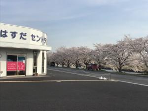 さくら薬局黒浜店 桜